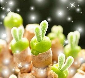 【多肉植物】【楽天シール対応】【送料無料】うさ耳 モニラリアの種 10粒 育て方の説明書付き うさぎ cute 1000円 ぽっきり 観葉植物 かわいい ラビット モニラリア 母の日 プレゼント