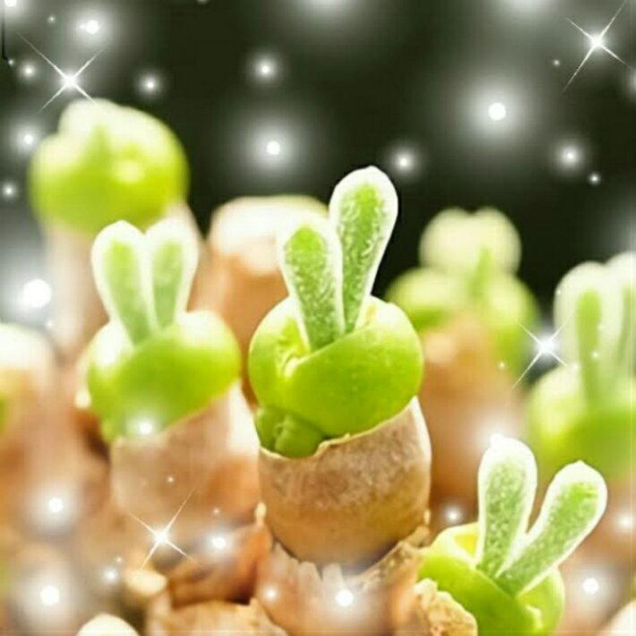 """うさ耳""""モニラリア""""の種 10粒 +育て方の簡易説明書付き 【多肉植物】 うさぎ cute"""