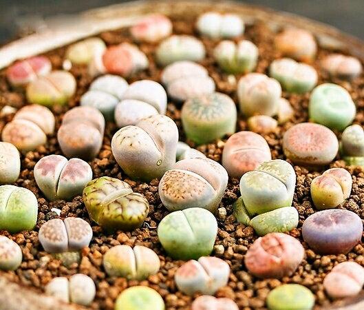 生きる宝石 リトープスの種 (ミックス種)10粒 +育て方の説明書付き 【多肉植物】 生ける宝石