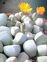 魔玉の種 10粒 +育て方の説明書付き 【多肉植物】多肉 観葉植物 Succulents Cactus サボテン