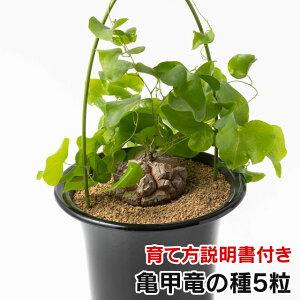 亀甲竜の種 5粒 +育て方の説明書付き【多肉植物】多肉 観葉植物 Succulents Cactus