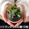 ドドランタリスの種10粒+育て方の説明書付き【多肉植物】