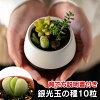 銀光玉の種10粒+育て方の説明書付き【多肉植物】