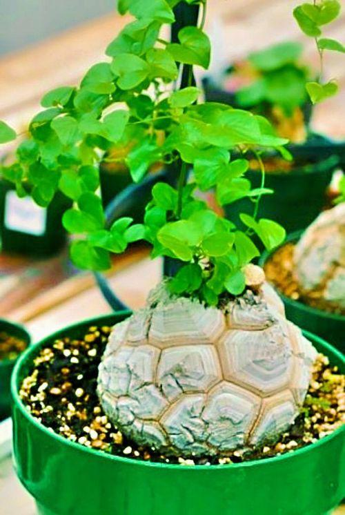 亀甲竜の種 5粒 +育て方の説明書付き 【多肉植物】