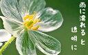 濡れると透明になる花 サンカヨウ(山荷葉)の種 10粒 +育て方の説明書付き 【希少種】 可愛い 不思議