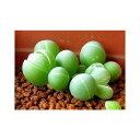銀光玉の種 10粒 +育て方の説明書付き 【多肉植物】