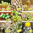 自分で選べる種子3点セットvol.1(モニラリア・リトープスmix・フォーカリア・魔玉・銀光玉・月兎耳・神風玉・群碧玉…