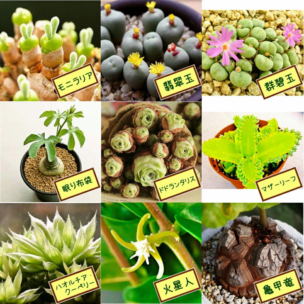 自分で選べる種子3点セットvol.2(モニラリア・翡翠玉・群碧玉・眠り布袋・ドドランタリス・マザーリーフ・ハオルチアクーペリー・火星人・亀甲竜) 多肉植物 うさみみ コノフィツム