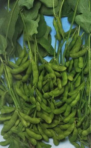 エダマメ種 早生黒頭巾 (100ml)[栽培用 種子 黒えだまめ 黒枝豆][品種名:早生黒頭巾]