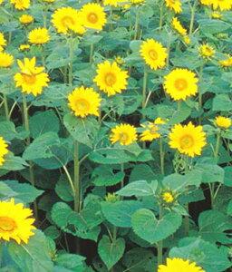 ひまわり種 タキイの緑肥用ひまわり 500g [緑肥 景観用 牧草種子 向日葵 ヒマワリ]