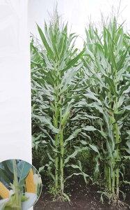 トウモロコシ種 サイレージコーン NS118スーパー (50,000粒) 【カネコ種苗】 [牧草種子 飼料用 トウモロコシ種]