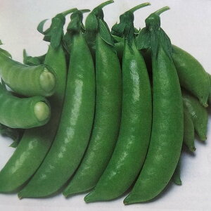 エンドウマメ種 ジャッキー (1dL)[栽培用 種子 スナップエンドウ えんどうまめ 豌豆]