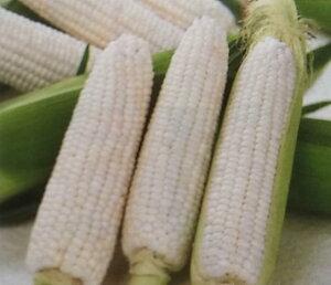 トウモロコシ種 クリスピーホワイト(2000粒)[栽培用 種子 とうもろこし 玉蜀黍 スイートコーン 生産者向け]