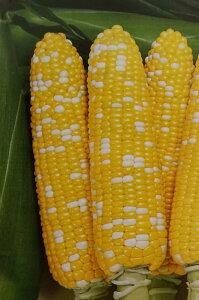 トウモロコシ種 F1 ミルフィーユ87(2000粒)[栽培用 種子 とうもろこし 玉蜀黍 スイートコーン 生産者向け]