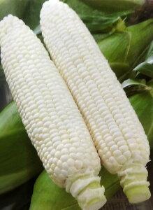 トウモロコシ種 ホイップコーン (45粒)[栽培用 種子 とうもろこし 玉蜀黍 スイートコーン]