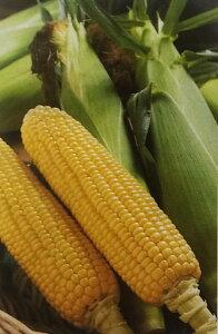 トウモロコシ種 キャンベラ86 (2000粒)[栽培用 種子 とうもろこし 玉蜀黍 スイートコーン 生産者向け]