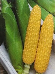 トウモロコシ種 キャンベラ90EX (2000粒)[栽培用 種子 とうもろこし 玉蜀黍 スイートコーン 生産者向け]