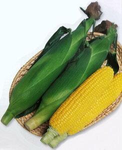 トウモロコシ種 おひさまコーン7 (2000粒)[栽培用 種子 とうもろこし 玉蜀黍 スイートコーン 生産者向け]