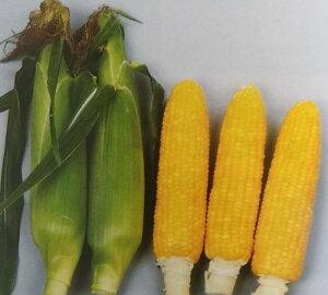 トウモロコシ種 みわくのコーン ゴールドラッシュ (2000粒)[栽培用 種子 とうもろこし 玉蜀黍 スイートコーン 生産者向け]