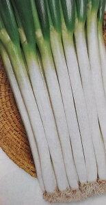 ネギ種 ホワイトスター (20ml)[栽培用 種子 ねぎ 葱]