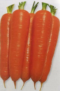 ニンジン種 陽明五寸 ペレット種子(700粒)[栽培用 種子 にんじん 人参 タキイ]