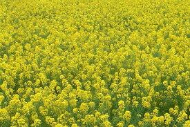 菜種 種子 (1kg 約1.5リットル) 緑肥・景観用に[菜の花 なのはな ナタネ なたね アブラナ]