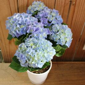 【アジサイ鉢】【送料無料】母の日 花 生花 アジサイピンク 5号鉢 鉢花 母の日ギフト 2021 ピンク色のアジサイです