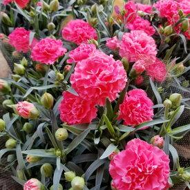 【カーネーション鉢】【送料無料】母の日 花 生花 カーネーション ピンク 赤 5号鉢 鉢花 母の日ギフト 2021