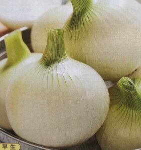 【送料無料】タマネギ種スパート (2dL)[栽培用 種子 たまねぎ 玉ねぎ 玉ネギ 玉葱 生産者向け タキイ]