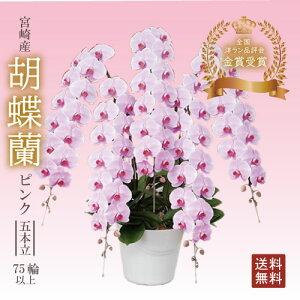 ギフト 送料無料 宮崎産【胡蝶蘭 ピンク 5本立 75輪以上】開店祝い お祝い 贈り物