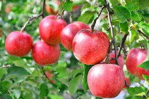 福島県 会津産 送料無料 わけあり りんご リンゴ 林檎 (  品種 ふじ ) 5kg位