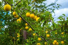 家庭用 ! 福島県伊達産わけあり 桃 もも モモ ! 3kg(7〜13玉)時期にあった品種!( 黄金桃 、 黄貴妃 )