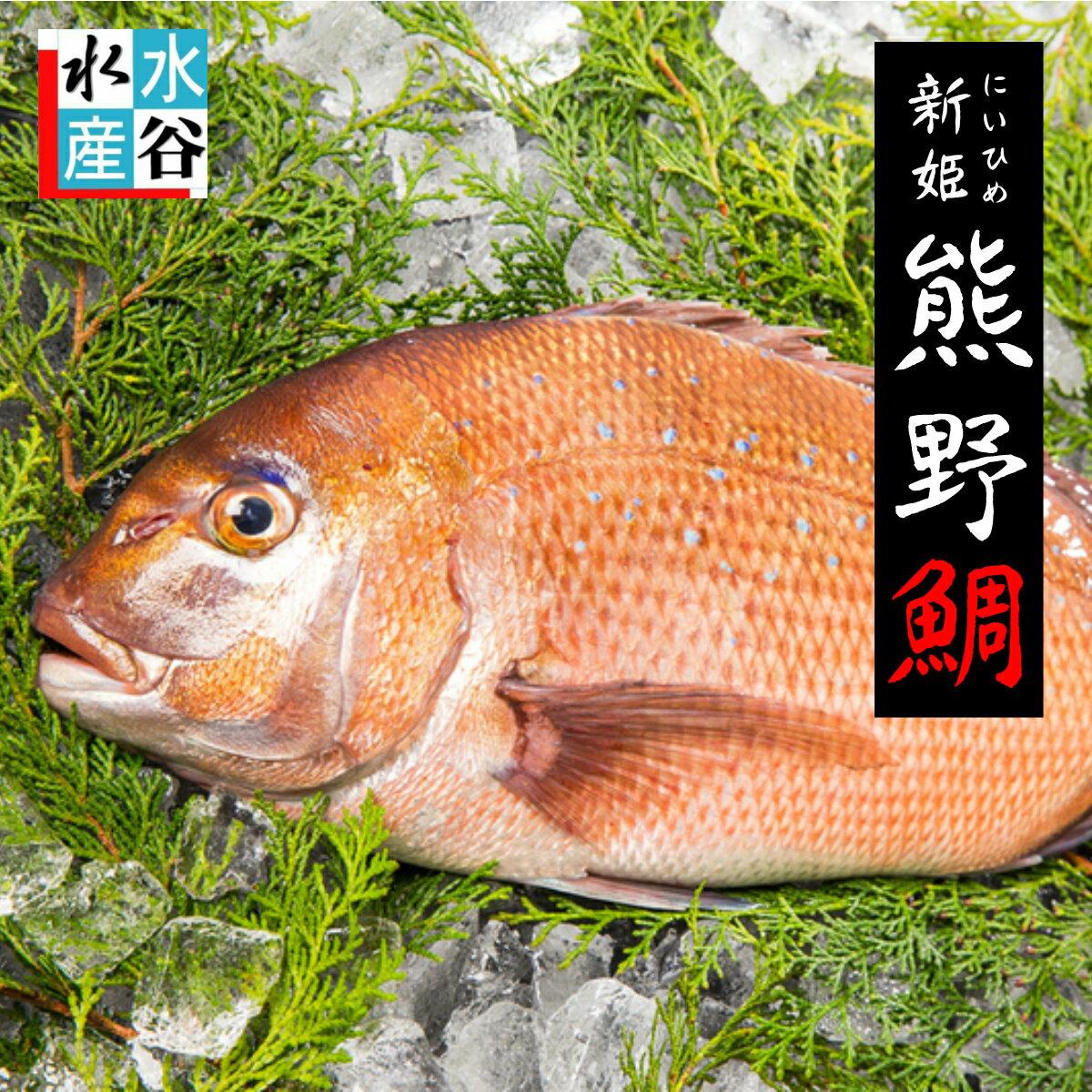 真鯛 活〆 熊野鯛【養殖】お祝い事 お食い初めにもどうぞ♪ お刺身 真ダイ 鯛 姿造り 鯛しゃぶ タイの塩焼き