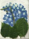 H-34 押し花 アジサイ 青 茎付 花30枚 葉5枚