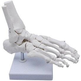 monolife 足骨モデル 足骨模型 足関節模型 足首 右足 標本 (足首 稼動タイプ)