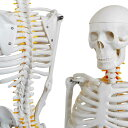 人体骨格模型 骨格標本 稼動 直立 スタンド 教材 85cm 1/2 モデル (ホワイト 台座・四角)