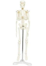 人体骨格模型 骨格標本 稼動 直立 スタンド 教材 45cm 1/4 モデル ホワイト(台座・三つ足)