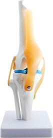膝関節模型 ひざ 膝関節 靭帯 半月板 模型 医療 学習用 モデル 台座 固定