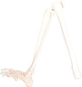 人体模型 下肢骨 大腿骨 脛骨 足骨 模型 等身大 86cm ワイヤーつなぎ モデル 左足