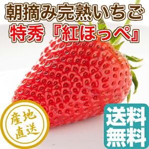 特秀大粒完熟 いちご 紅ほっぺ 贈答用1パック入り(約400g) 静岡県久能産 送料無料 ギフト