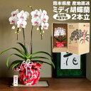 産地直送 ミディ胡蝶蘭 2本立 華てまり 花の色おまかせ(ピンク、白、黄系) 熊本県産 なかがわ農園 五蘭塾 洋蘭 ラン…