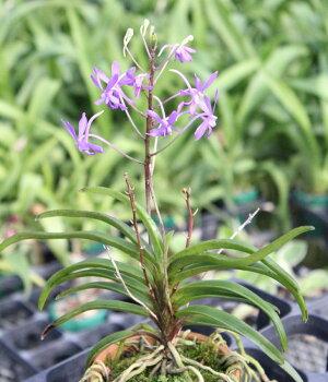 青風蘭ブルームーン冬に咲くフウラン系交配の人気品種大きくならずに何年もお育て頂けます。