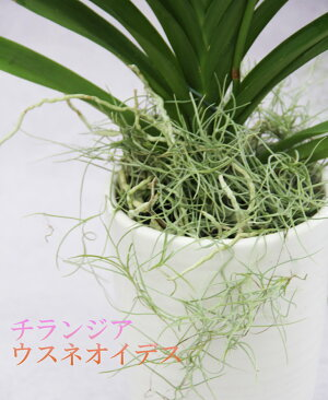 プレゼント用『バンダミカサピンク』陶器鉢花