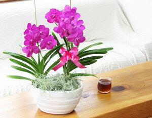 プレゼント用『バンダミカサピンク』【送料無料】陶器鉢花
