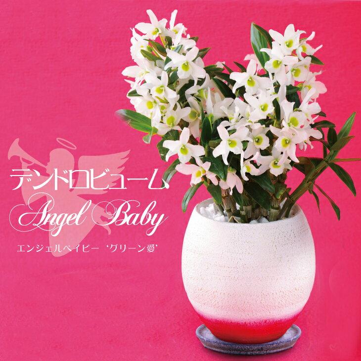 洋ラン『デンドロビューム エンジェルベイビー 'グリーン愛' 陶器鉢仕立て』グリーンのリップがかわいい小さな白い花が咲き乱れます。