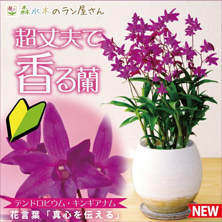 洋ラン『デンドロビウム キンギアナム 陶器鉢仕立て』鉢花小さな花が咲き乱れ、香りが部屋中に広がります超丈夫な性質で育てやすいので初心者さんにも♪胡蝶蘭ギフトに飽きた方に ご自宅、お誕生日にどうぞ♪