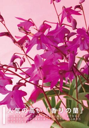 香りの花咲く丈夫な原種「キンギアナムアロマポット」小さな花が咲き乱れ、香りが部屋中に広がります超丈夫な性質で育てやすいので初心者さんにも♪花束やアレンジ、胡蝶蘭ギフトに飽きた方に、冬春限定出荷【smtb-MSあす楽】ご自宅、お誕生日に♪