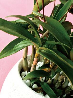 香りの花咲く原種『デンドロビウム・キンギアナム陶器鉢仕立て』小さな花が咲き乱れ、香りが部屋中に広がります超丈夫な性質で育てやすいので初心者さんにも♪胡蝶蘭ギフトに飽きた方に【あす楽関東翌日】ご自宅、お誕生日にどうぞ♪陶器鉢花