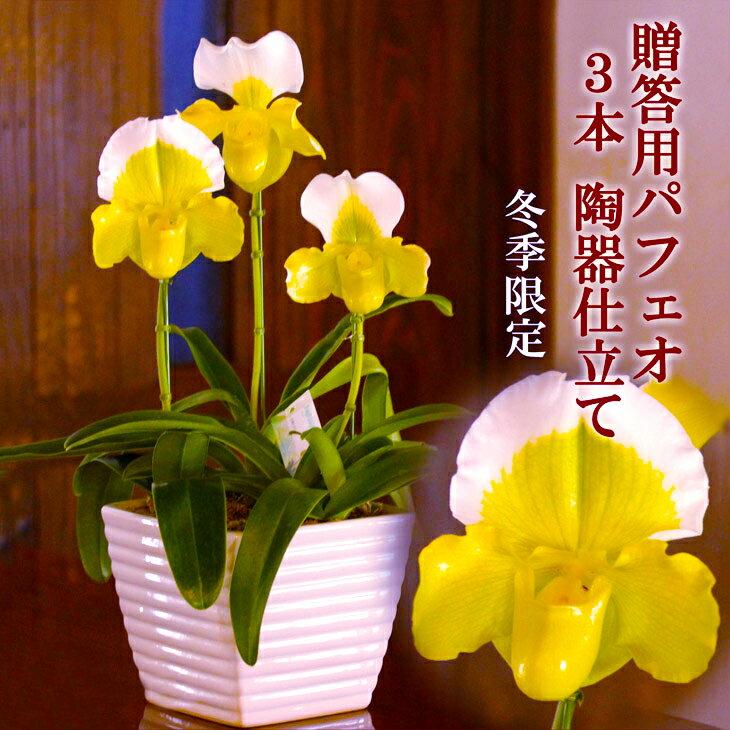 洋ラン『パフィオペディラム 3本立ち 幸せの黄色いパフィオ 贈答用』鉢花お月さま色のパフィオ3輪とおしゃれ陶器鉢でオンリーワンギフト!パフィオペディルム 森水木のラン屋さん