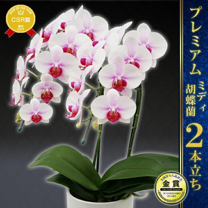 『ミディ胡蝶蘭(ミニ胡蝶蘭)2本立ち はなやか 陶器鉢仕立て』洋蘭の鉄人ギフト 送料無料選べる!とりわけ上品で美しい4品種